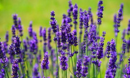 Manfaat Bunga Lavender untuk Tubuh dan Pikiran