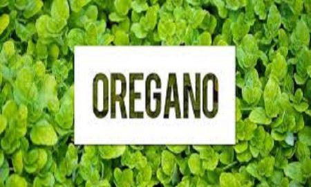 Oregano, Tanaman Herbal yang Sangat Hebat untuk Kesehatan