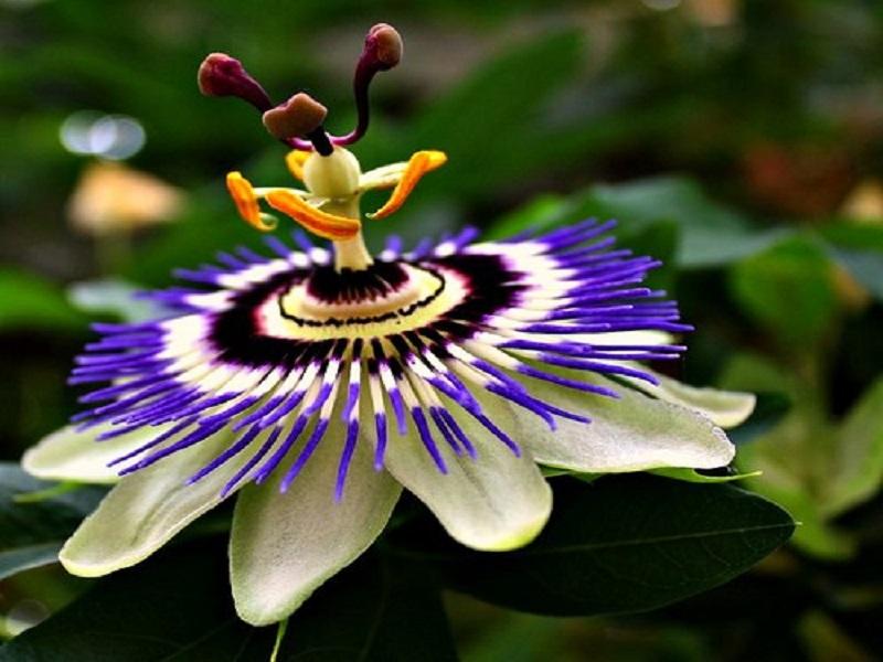 Mengenal Manfaat Bunga Cantik Passhion Flower
