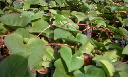 Herbal Khas Vietnam Kaya Manfaat untuk Kesehatan