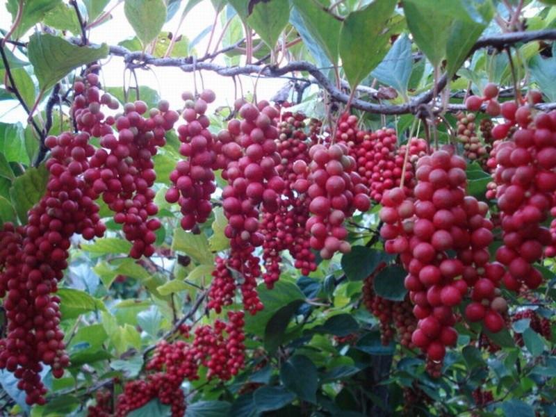 Manfaat Herbal SchisandraChinensis untuk Kesehatan