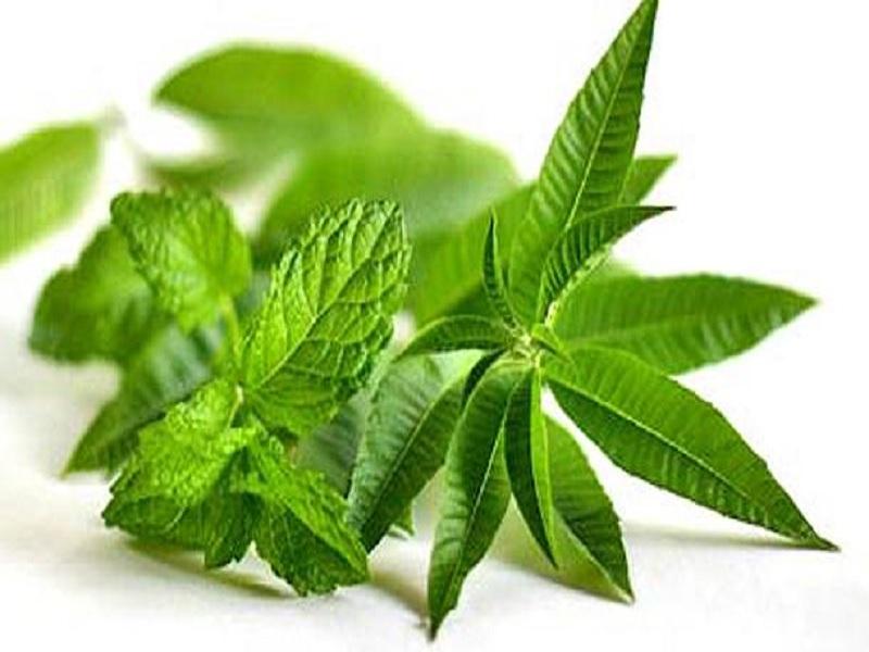 Awas Ini Khasiat Terbaik Herbal Daun Lemon Verbena