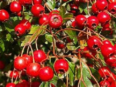 Manfaat Menakjubkan dari Herbal Hawthron untuk Kesehatan.2