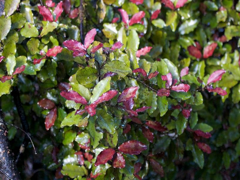 Manfaat Paling Sehat dari Herbal Horopito – Herbal Khas dari New Zealand