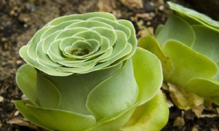 Euphorbia milii sebagai tanaman hias dan herbal