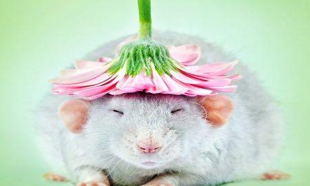 tikus menyebarkan penyakit untuk manusia