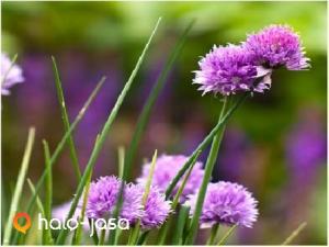 Khasiat daun bawang untuk menyembuhkan penyakit