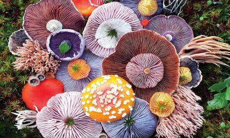Jamur cantik untuk obat alami