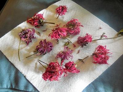 Monarda si bunga cantik untuk obat herbal
