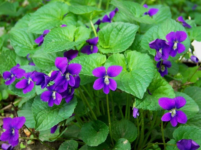 bunga cantik untuk makanan dan obat herbal