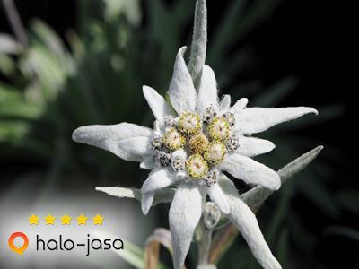 Disebut Bunga Abadi Ternyata Ini Rahasia Edelweiss!