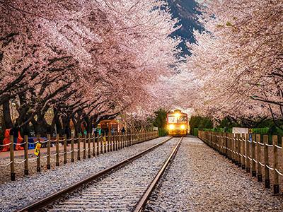 cherry-blossom-korea