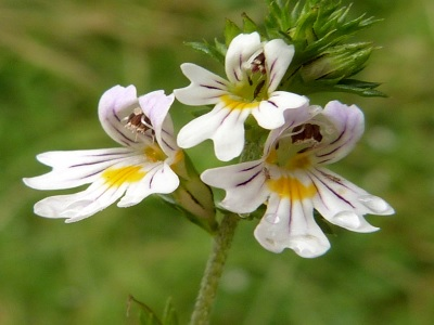 herbal yang akan membuat mata lebih cerah.1