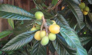 manfaat buah loquat untuk tubuh